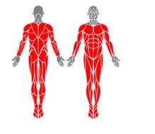 obrázek-člověk se svalama-komplet bez rukou